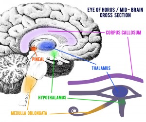 The All-Seeing Eye: Sacred Origins of a Hijacked Symbol Eye-of-Horus-Mid-Brain-Cross-Section2-300x251
